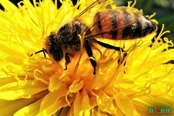 терапия укусом пчелы